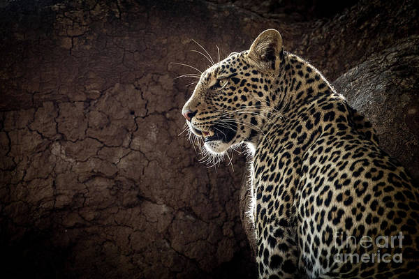 Photograph - Leopard by Patti Schulze