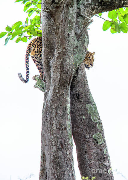 Indian Banyan Photograph - Leopard Perched High On A Tree by Samanvitha Rao