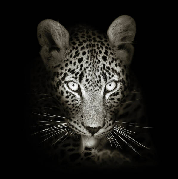 Dark Background Photograph - Leopard Portrait In The Dark by Johan Swanepoel