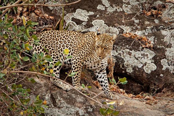 Photograph - Leopard Rock II by John  Nickerson
