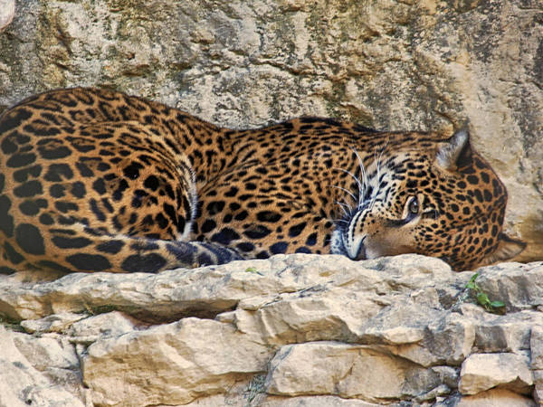 Photograph - Leopard Sleeping by Charles McKelroy