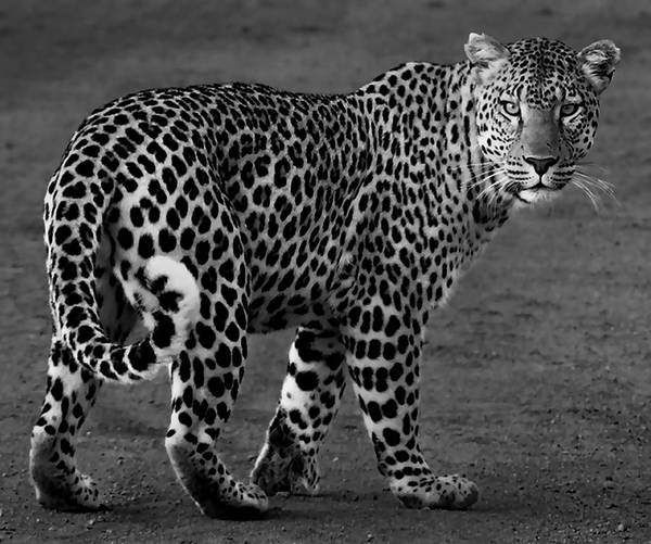 Wall Art - Photograph - Leopard Stealth by Daniel Hagerman