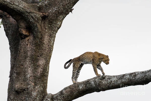 Photograph - Leopard Walking In Tree In The Serengeti Savanna by RicardMN Photography