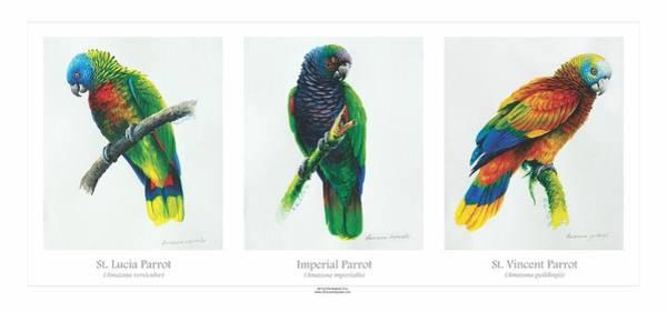 Painting - Lesser Antillean Parrots Triptych by Christopher Cox