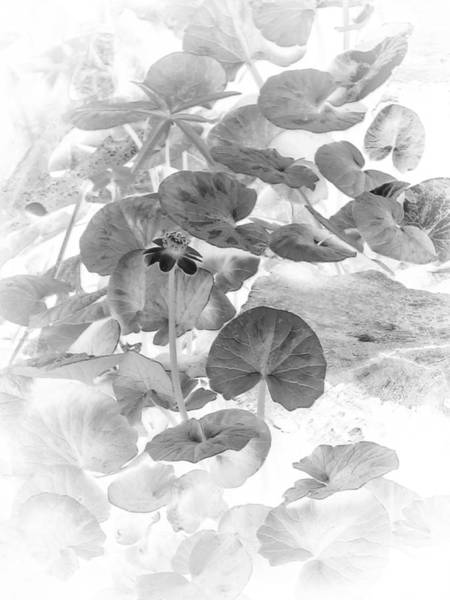 Biota Photograph - Lesser Celandine Buttercup Flower In Black And White by Susan Elizabeth