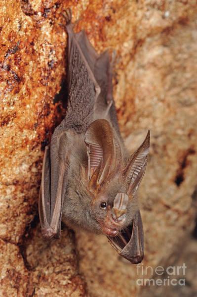 Photograph - Lesser False Vampire Bat by Chien Lee