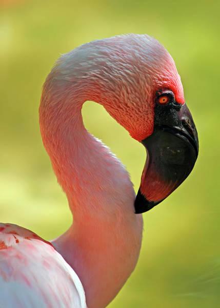 Nfs Photograph - Lesser Flamingo by Daniel Caracappa