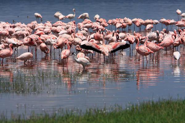 Photograph - Lesser Flamingo, Lake Nakuru, Kenya by Aidan Moran