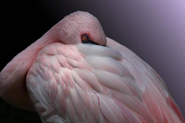 Photograph - Lesser Flamingo Resting by Debi Dalio