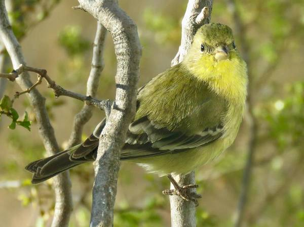 Photograph - Lesser Goldfinch 1 by Judy Kennedy