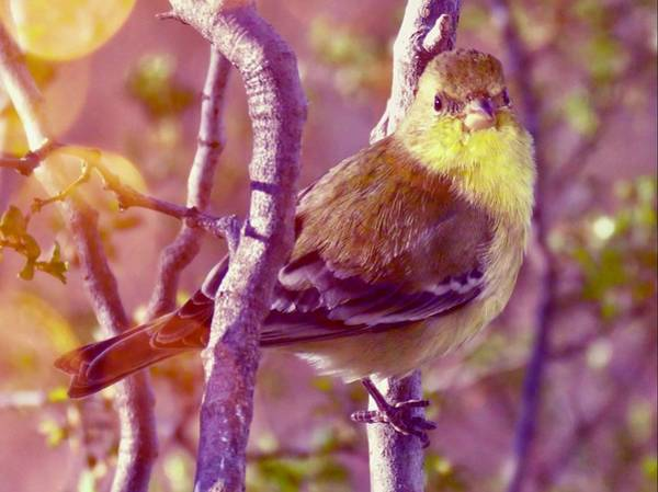 Photograph - Lesser Goldfinch 2 by Judy Kennedy