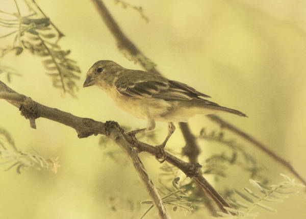Photograph - Lesser Goldfinch On Acacia Limb Des by Theo O'Connor