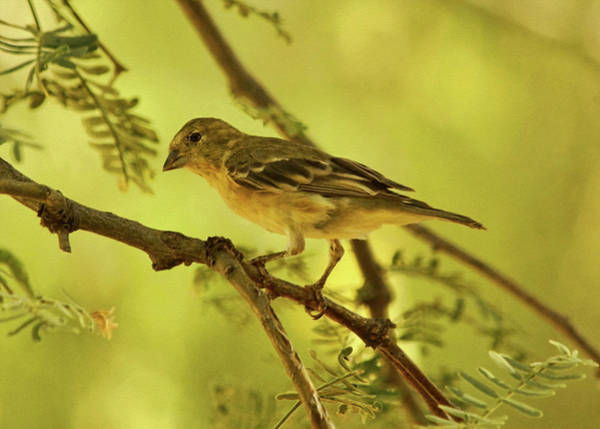 Photograph - Lesser Goldfinch On Acacia Limb by Theo O'Connor