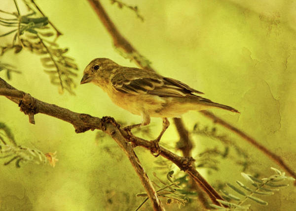 Photograph - Lesser Goldfinch On Acacia Limb Txt by Theo O'Connor