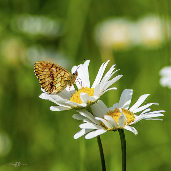 Photograph - Lesser Marbled Fritillary On An Ox-eye Daisy by Torbjorn Swenelius