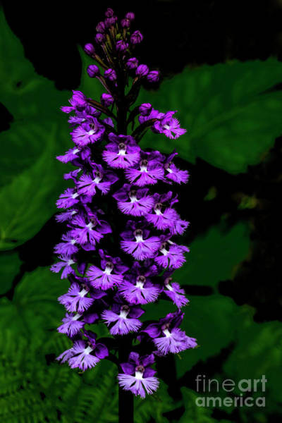 Photograph - Lesser Purple Fringed Orchid by Barbara Bowen