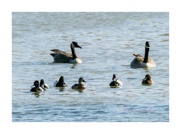 Photograph - Lesser Scaup Group by Edward Peterson