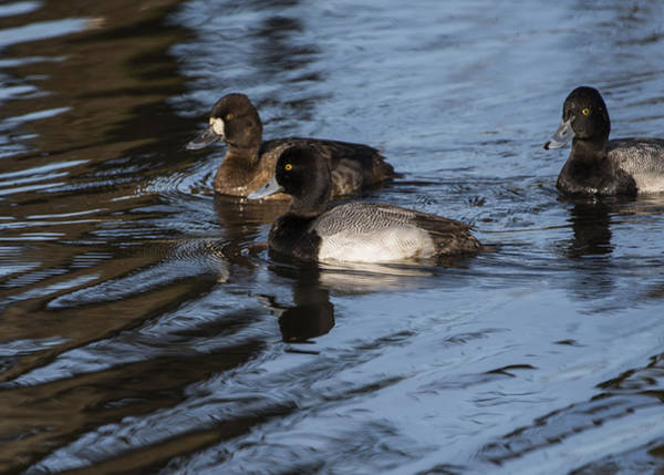 Photograph - Lesser Scaup by Robert Potts
