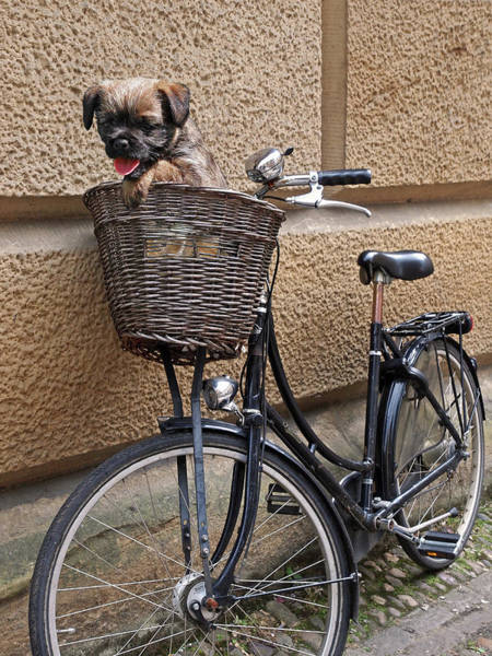 Photograph - Let's Ride - Puppy In Bicycle Basket by Gill Billington