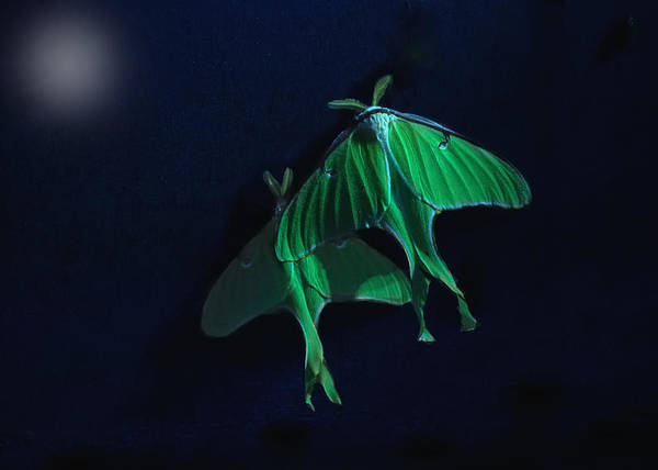 Moth Photograph - Let's Swim To The Moon by Susan Capuano