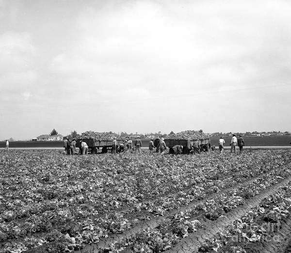 Photograph - Lettuce Harvest, Harvester And Workers In Fields, 1947 by California Views Archives Mr Pat Hathaway Archives