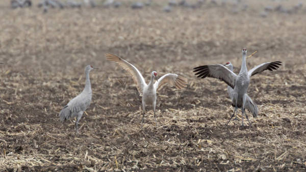 Photograph - Leucistic Sandhill Crane #2 by Susan Rissi Tregoning