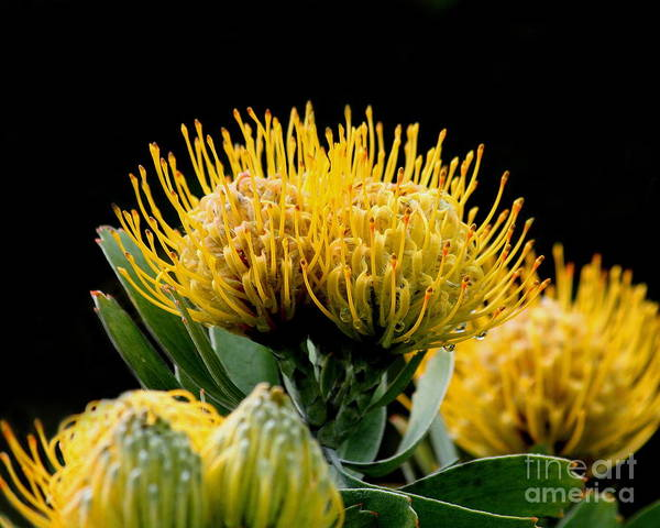 Proteaceae Photograph - Leucospermum Veldfire Flower by Wingsdomain Art and Photography