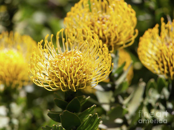 Proteaceae Photograph - Leucospermum Veldfire Pincushion Flower 5d3192 by Wingsdomain Art and Photography
