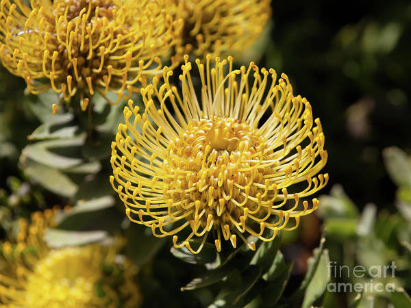 Proteaceae Photograph - Leucospermum Veldfire Pincushion Flower 5d3195 by Wingsdomain Art and Photography