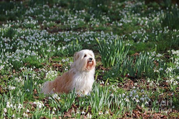 Photograph - Lhasa Apso In Snowdrops  by Julia Gavin