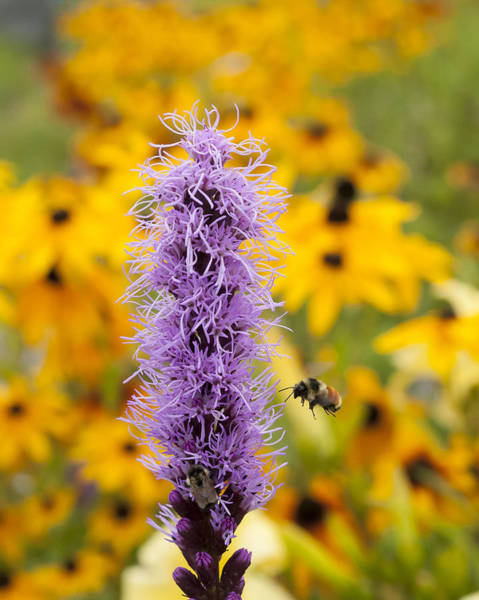 Liatris Spicata Photograph - Liatris And The Bees by Kathryn Whitaker