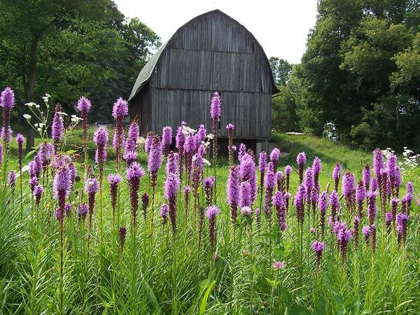 Liatris Spicata Photograph - Liatris Spicata At The Barn - Gayfeather - Blazing Star by Holly Eads