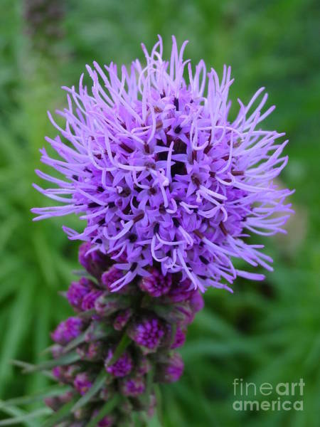Liatris Spicata Photograph - Flower Liatris Spicata by Christine Albert