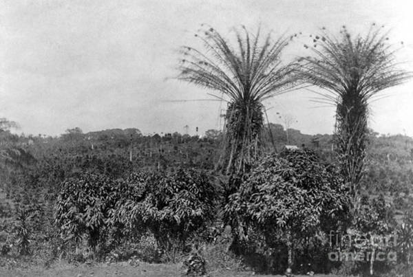 Photograph - Liberian Coffee Farm by Granger