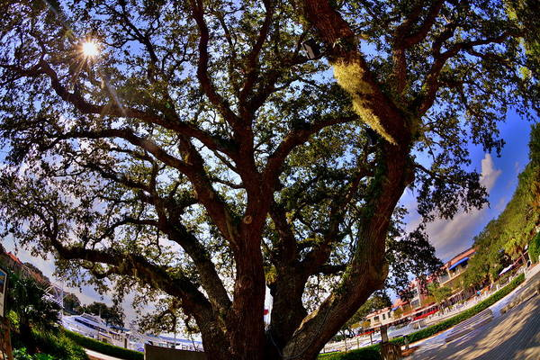 Liberty Oak Harbour Town Hilton Head Sc Art Print