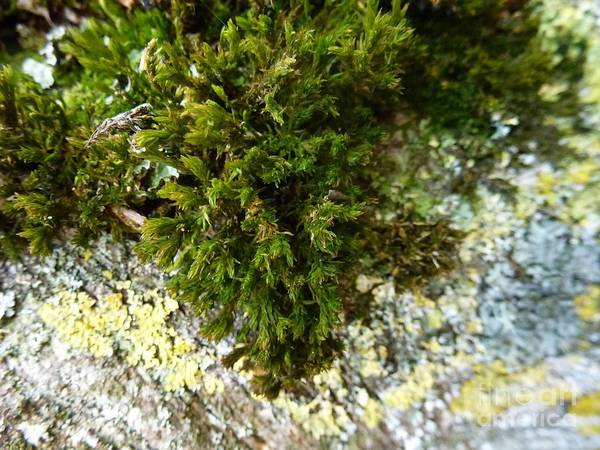 Photograph - Lichen And Moss On A Tree 8 by Jean Bernard Roussilhe