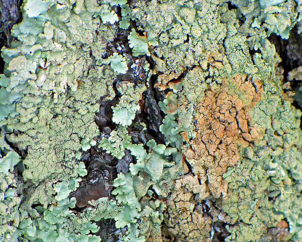 Photograph - Lichen Field by Lynda Lehmann