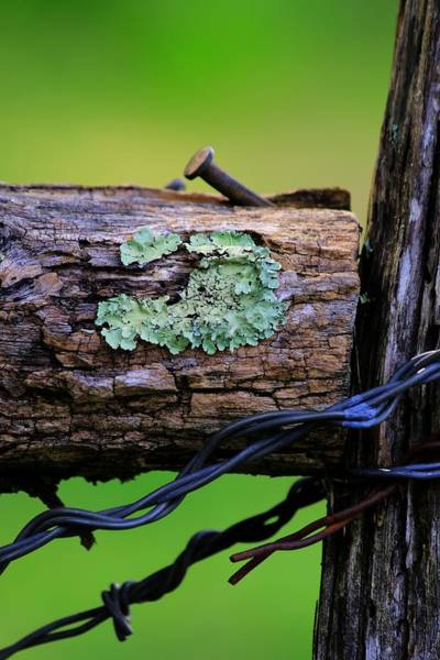 Photograph - Lichen On Barbed Wire Fence by Carol Montoya