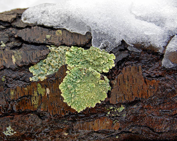 Photograph - Lichen On Wet Bark by Lynda Lehmann