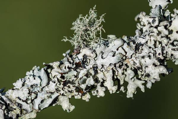 Photograph - Lichens On A Limb by Robert Potts
