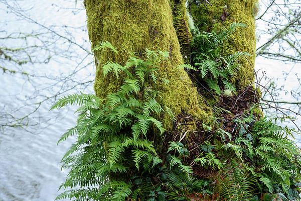 Photograph - Licorice Fern And Moss by Robert Potts