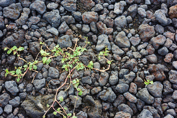 Photograph - Life Amid Lava by Paulette B Wright