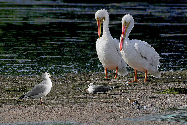Pelican Island National Wildlife Refuge Wall Art - Photograph - Life On The Bar by Phil Jensen