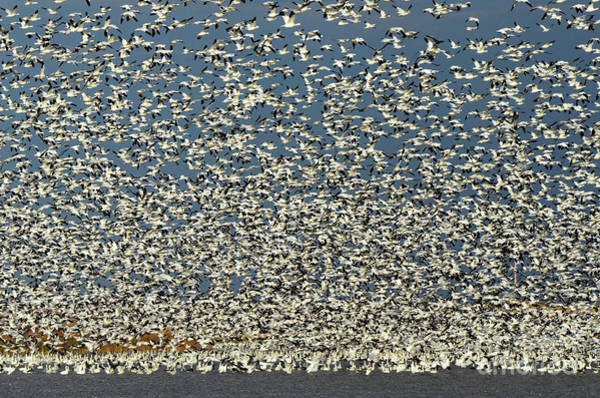 Mother Goose Photograph - Lift Off Snow Geese 2 by Bob Christopher