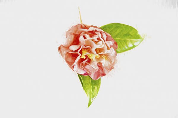 Photograph - Light And Bright Camellia by Kay Brewer