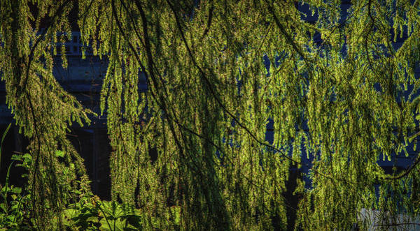 Photograph - Light In Tree #h6 by Leif Sohlman