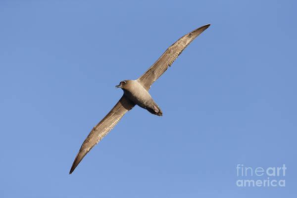 Wall Art - Photograph - Light-mantled Sooty Albatross by Martin Hale/FLPA