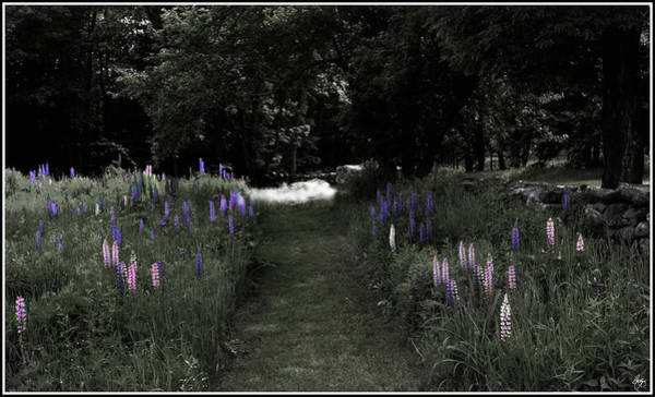 Photograph - Light On The Lupine Path by Wayne King