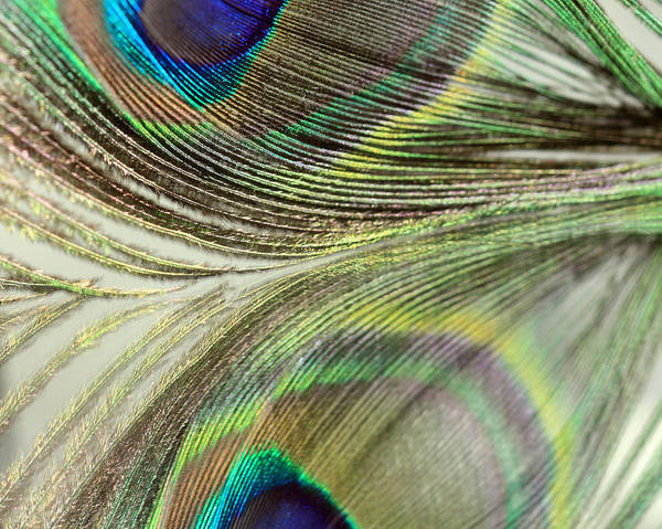 Photograph - Light Peacock Reflections by Angela Murdock