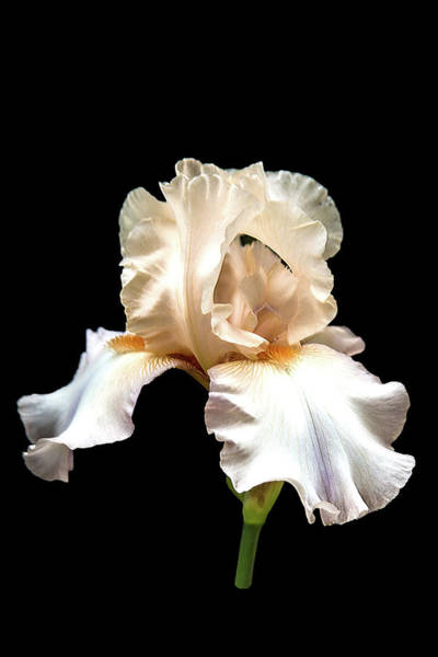 Photograph - Light Pink Iris by Mike Stephens